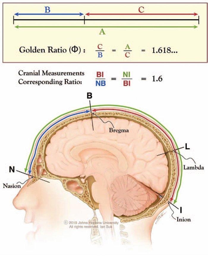 La sezione aurea disegna il cranio umano